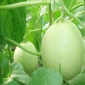 京郊水果 有机香瓜 约4斤装