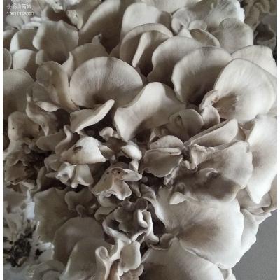 基地自种--栗蘑