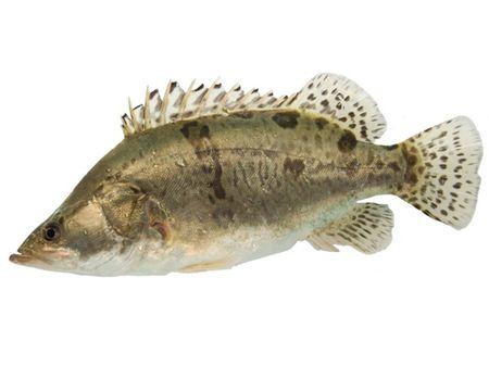 鳜鱼(桂鱼)