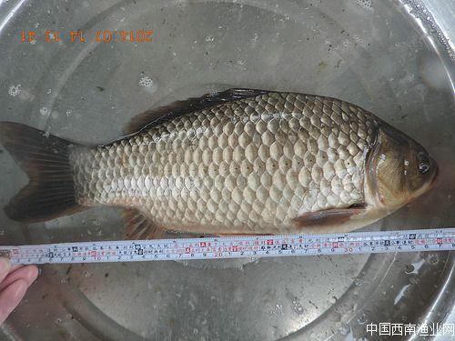 非生物工程鯽的良種鯽魚