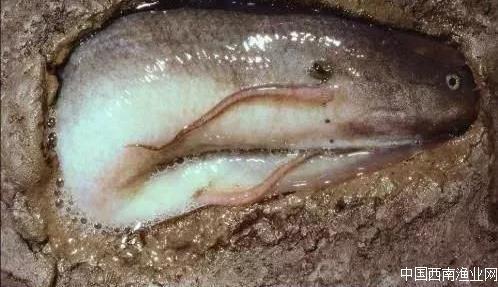 肺鱼---可以不吃不喝,在干泥地里活几年