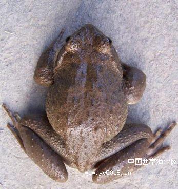 棘胸蛙(石蛙)